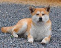 秋田犬可以办狗证吗最好先咨询一下当地的条例